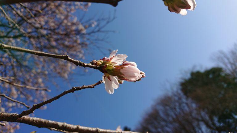 桜開花しました。イメージ