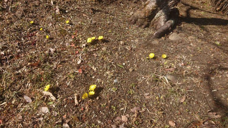 福寿草が咲き始めました。イメージ