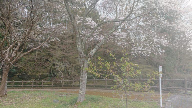 桜が満開です。イメージ