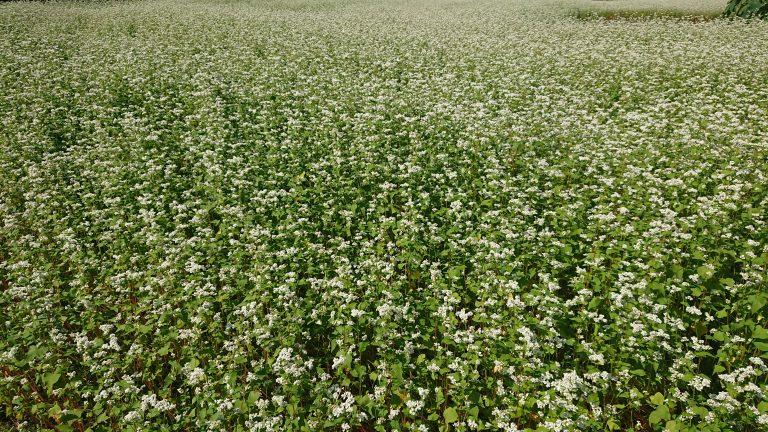 大山田の蕎麦畑です。イメージ